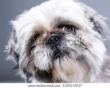 Funny headshot of dog - close up of slightly ugly but cute shih tzu puppy.