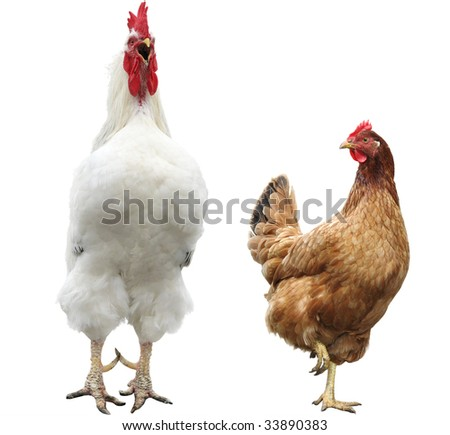 funny hen and rooster