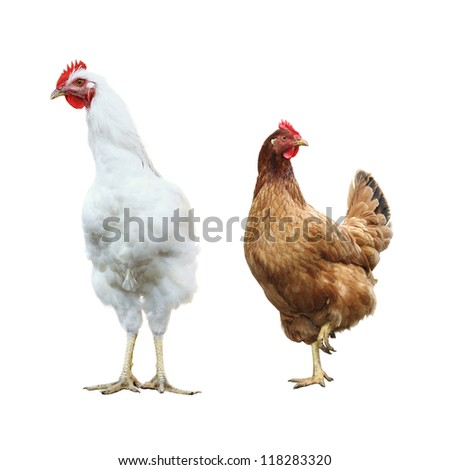 funny hen and rooster, isolated