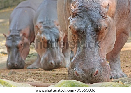 Funny Hippopotami In The Trivirandrum Zoo  Kerala  India   Stock Photo