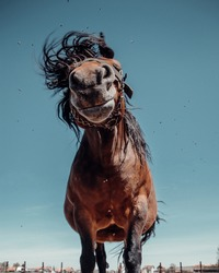 Funny horse shaking with head on a farm. Funny animal portrait. Animal lover. Brown horse on a farm. Photo of a close up animal. Horse photography. Horse in nature. Portrait with blue background.