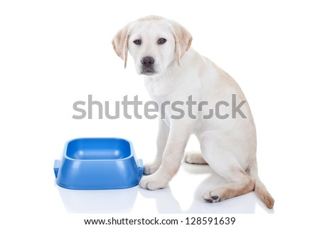 stock photo : Funny hungry Labrador retriever puppy dog gives attitude and upset expression since no food in bowl - isolated on white background