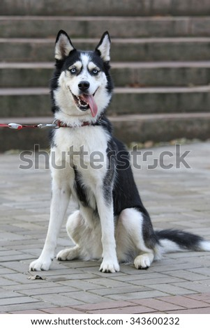 Funny Husky dog sits outdoors with open mouth and long hanging tongue with a red collar and leash