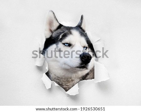 Funny Husky peeks into the paper hole. The dog tore the wallpaper. Banner with a pet. Curious. A paper hole with the edges torn off. A ragged hole. The concept of advertising and breakthrough.
