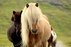 Funny icelandic horse with a long flowing and blonde mane, walking in the middle of a street in the Faroe Islands.