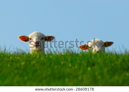 funny image of a cute lambs in spring