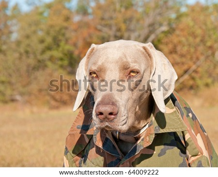 Funny image of a Weimaraner dog wearing a camouflage shirt, like a member of a guerrilla movement - stock photo