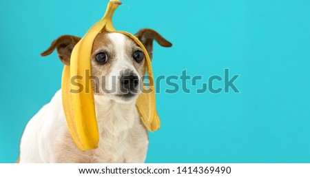 Funny Jack Russell Terrier dog with banana peel on its head looking at camera on a blue background Сток-фото ©