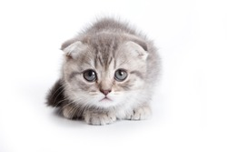 Funny kitten British cat (isolated on white)