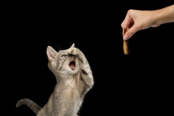 Funny Kitten closed nose and opened mouth when see hand with gourmet food on Isolated Black Background