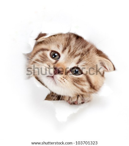 funny kitten looking out hole in  torn paper