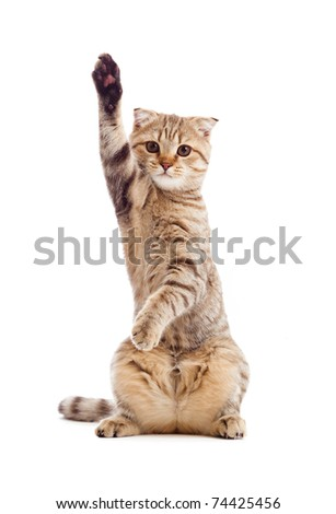funny kitten pointing up by one paw