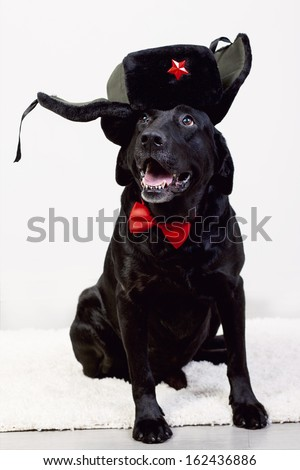 funny Labrador in a funny hat
