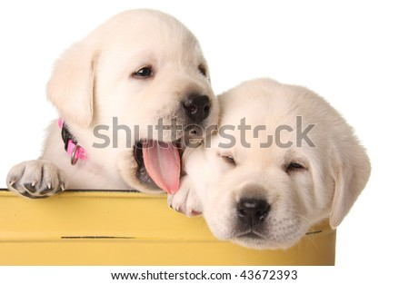 Funny labrador puppies in a yellow container.