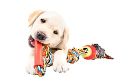 Funny Labrador puppy chewing a toy for dogs isolated on white background