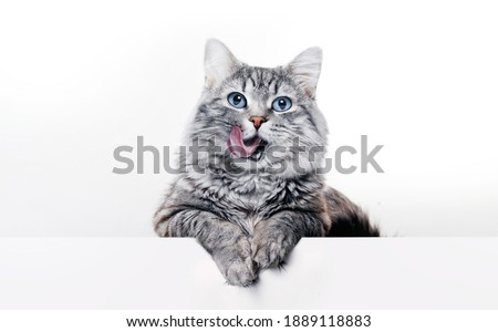 Funny large longhair gray kitten with beautiful big blue eyes lying on white table. Lovely fluffy cat licking lips. Free space for text.