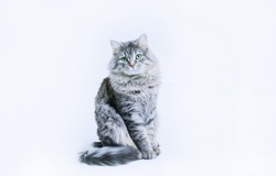 Funny large longhair gray tabby cute kitten with beautiful big eyes sitting on white table. Pets and lifestyle concept. Lovely fluffy cat on grey background.