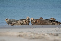 Funny lazy seals in the sea of Dune, Germany. Two seals look straight into the camera.