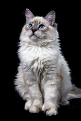 funny little blue-eyed white cat, isolated on black