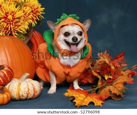 Funny little Chihuahua dressed up as a pumpkin for Halloween