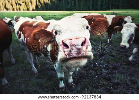 Funny little cow staring into the camera