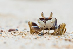 funny little crab with big eyes, marine mammal on the island of koh samui in thailand, decapod crustacean