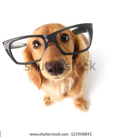Funny little dachshund wearing glasses distorted by wide angle closeup. Focus on the eyes.