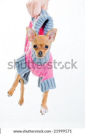 Funny little dog in sweater, isolated over white background