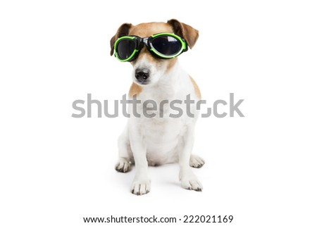 25cadcccde8 Funny little dog jack russell terrier with glasses for swimming is sitting  on a white background