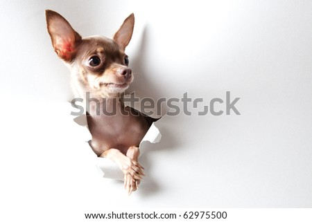 Funny little dog on white