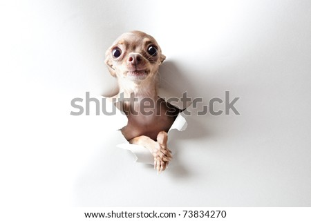 Funny little dog with big eyes on white - stock photo
