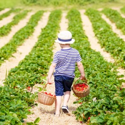 Funny little kid boy holding baskets with strawberries on organic pick a berry farm in summer, on warm sunny day. Harvest fields. Healthy food for children. Gardening and farming concept
