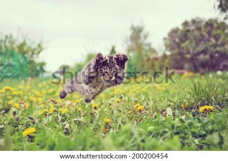 Funny little kitten is jumping on green meadow in summer
