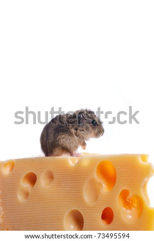 Funny little mouse with cheese over white