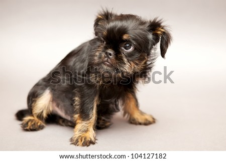 Funny Little puppy of breed Brussels Griffin