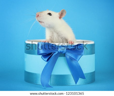 funny little rat in gift box, on blue background