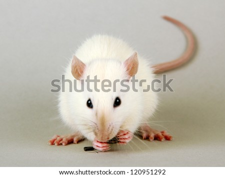 funny little rat with food, on grey background