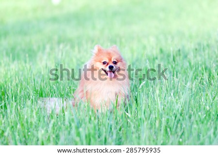 funny little red dog playing in the grass summer day