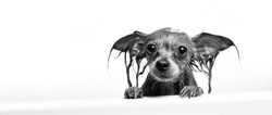 Funny little wet dog in bathroom on white background. Dog takes a shower. Russian  Long Haired Toy Terrier (Canis lupus familiaris).