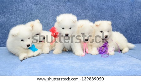 funny little white Samoyed husky puppies sitting together on a blue couch