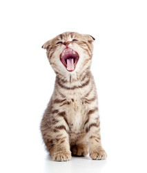 Funny little yawning Scottish fold kitten. Isolated on white background.