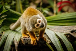 Funny look of sqirrel monkey in Amazonic rainforest, Ecuador