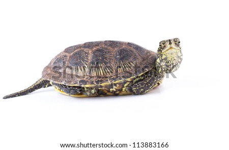 Funny looked turtle isolated on white background