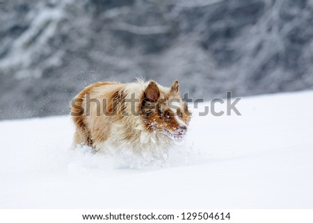 Funny looking australian shepherd during run on snow field with snowy trees on background with snow cloud around legs
