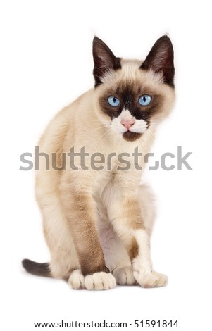 funny looking siamese cat  posing for the camera