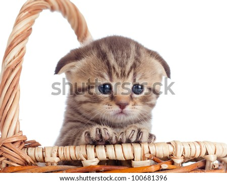 funny lop-eared baby Scottish british kitten sitting basket