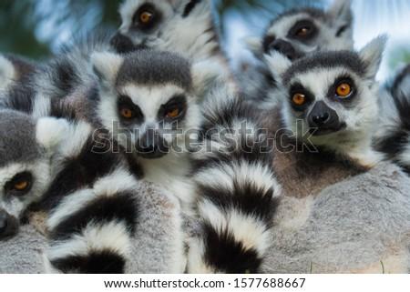 Funny madakascar lemurs who are cold (Lemur catta)
