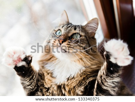 Funny male cat raises paws up