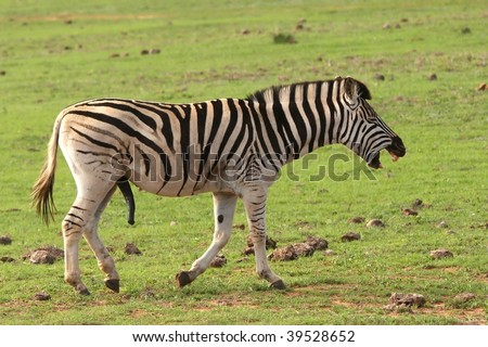stock photo : Funny male zebra with large penis and look of laughter