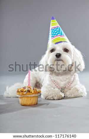 Funny maltese birthday dog with cake and hat. Studio shot. Grey background.